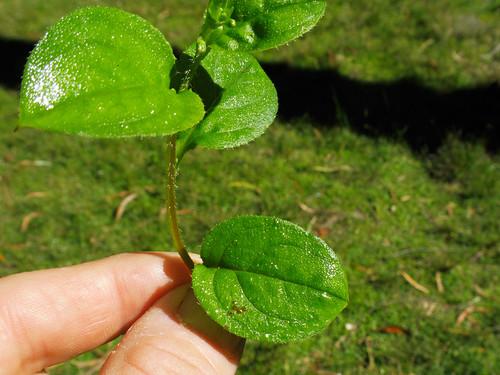 Hackelia latifolia leaf NC2