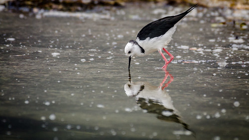 Narciss the pied stilt