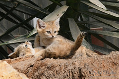 Babies sand cats