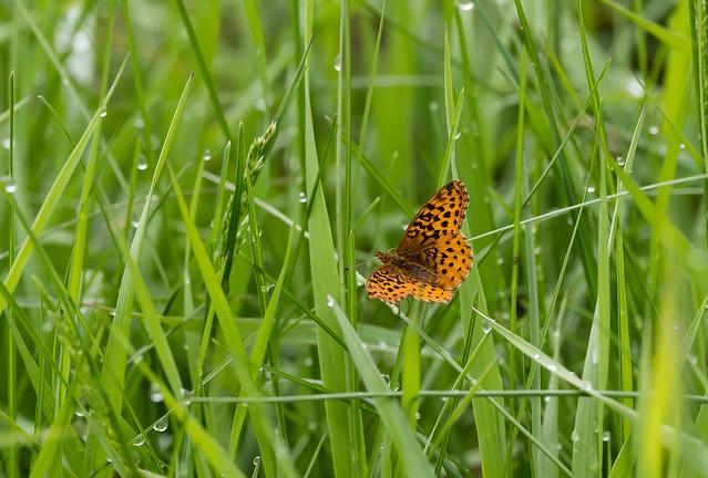 Meadow Fritillary in Millmont