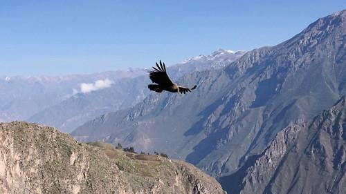 Condor's beauty
