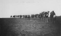 Camel train between Winton and Davenport Downs, 1911