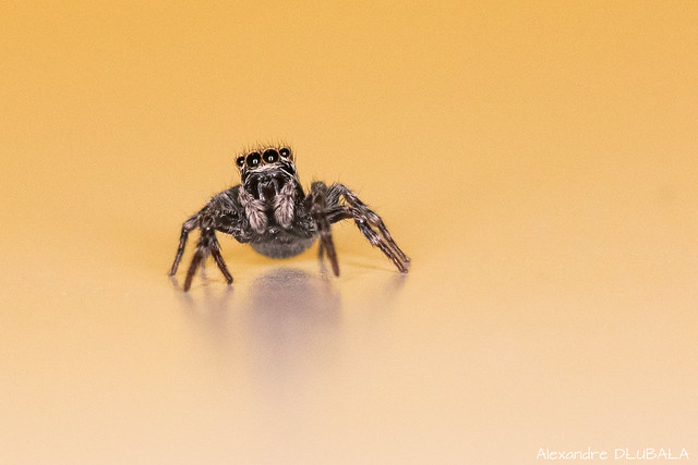 Small jumping spider