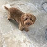 Winnie's Past F1b toy puppies !