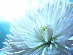 Spring Chrysanthemum