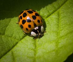 Harlequin ladybeetle
