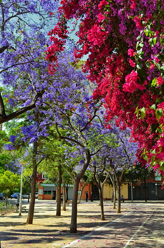 Between Bougainvillea and Jacarandá