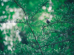 Forest & Bird Bokeh - 11. Mai 2019 - Schleswig-Holstein - Germany