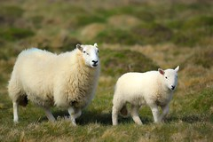 Sheep, Pembrokeshires Coast National Park, Pembrokeshires, Wales