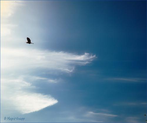 Graureiher am Himmel