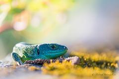 Lézard vert-Lacerta bilineata