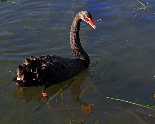 8212 Black swan