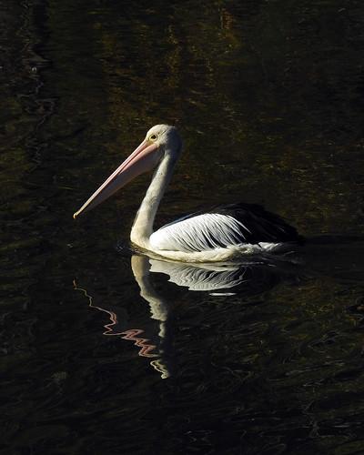 8208 Pelican