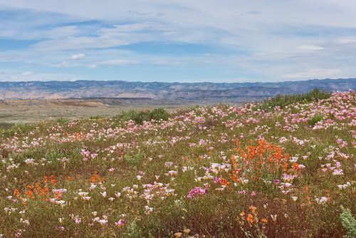 Colorado Desert Super Bloom
