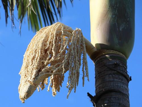 Bangalow Palm (Archontophoenix cunninghamiana)