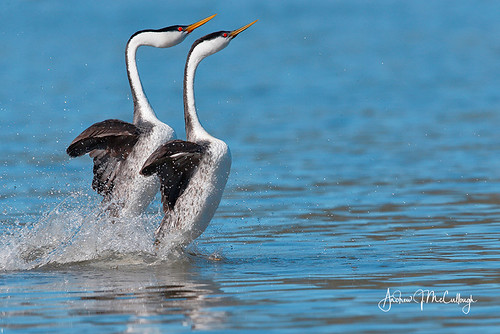Dancing (Rushing) Western Grebes