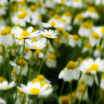 Daisies by Martin Parratt