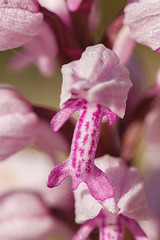Orchis militaire - Photo of Savigny