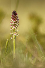 Orchis brûlé - Photo of Savigny