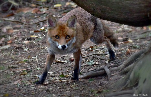 Red Fox (Vupes vulpes) - Buckinghamshire