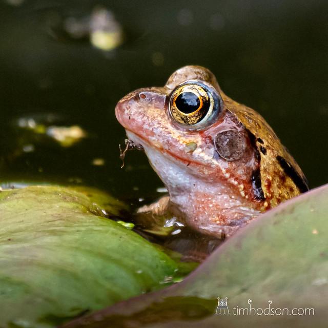 Pharoh Frog