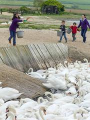 Tiya feeding Swans