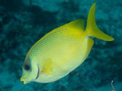 Blackeye rabbitfish (Siganus puelloides)