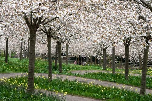 Blossom bonanza in the cherry orchard