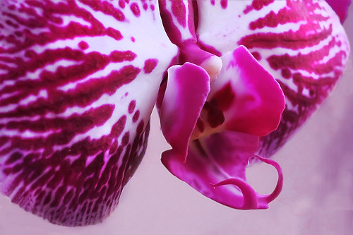 my orchid - detail