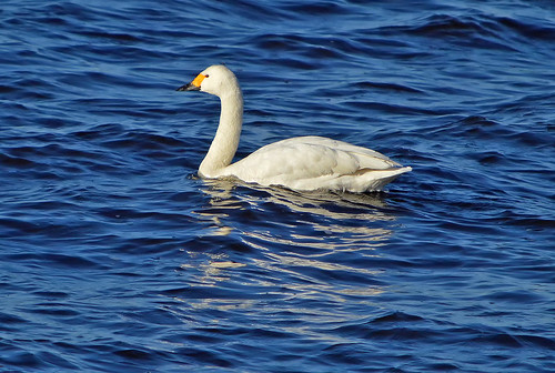 My beautiful guest. The Bewick's swan
