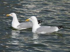 Herring Gulls DSCN7243