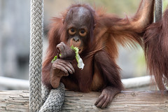 Orangutan Eating a Lettuce