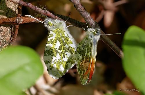 Aurora-Pärchen (Anthocharis cardamines) bei der Kopula gut versteckt im Unterholz (Explored)