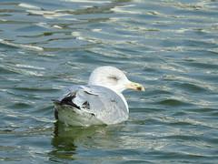 Herring Gull DSCN7237