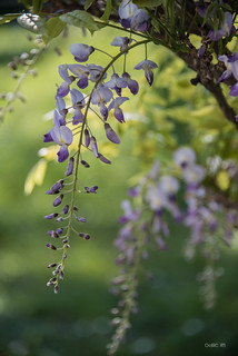 Wisteria in a pot...