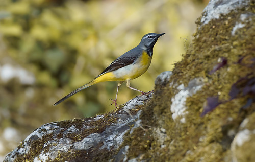 a grey wagtail (male) running on a rock
