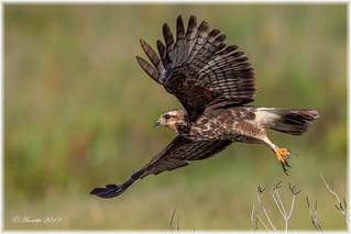 Young Female Snail Kite__11A8680