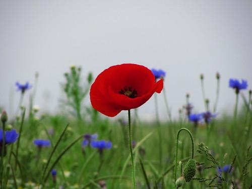 20120606 159 Blume Mohn rot Kornblume blau_K