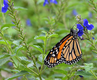 First Monarch sighting of the year