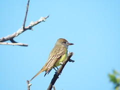 Great Crested Flycatcher, April 19, 2019, Chisholm Trail, Plano, Texas
