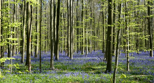 Bluebell forest panorama