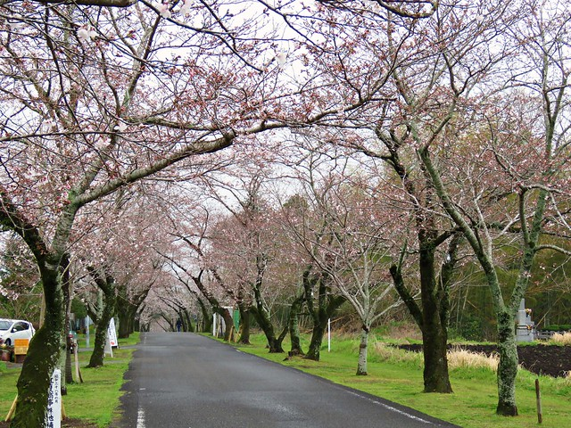 Photo:pink path 母智丘公園 By oneroadlucky