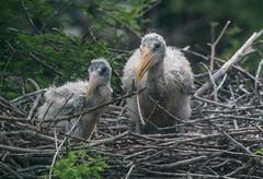 Wood Stork chicks-2432