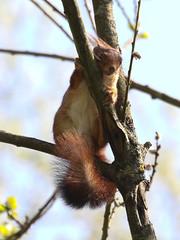eekhoorn - Photo of Fleury