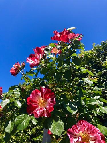 Rose Garden, Birmingham Botanical Gardens, Birmingham, Alabama