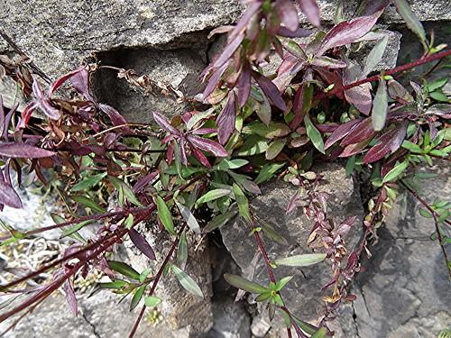 Mexikanisches Berufkraut - Erigeron karvinskianus - Blätter