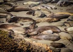 Elephant Seals  Rokerij No. 2