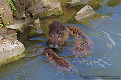 beaver rats in the lake of Château d'Ermenonville