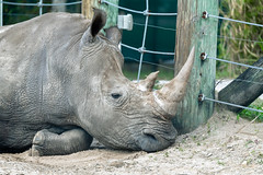 Rhino Relaxing by a Fence