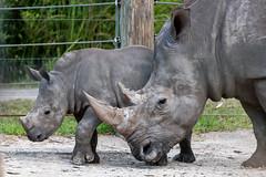 Rhino Mom and Calf Closeup
